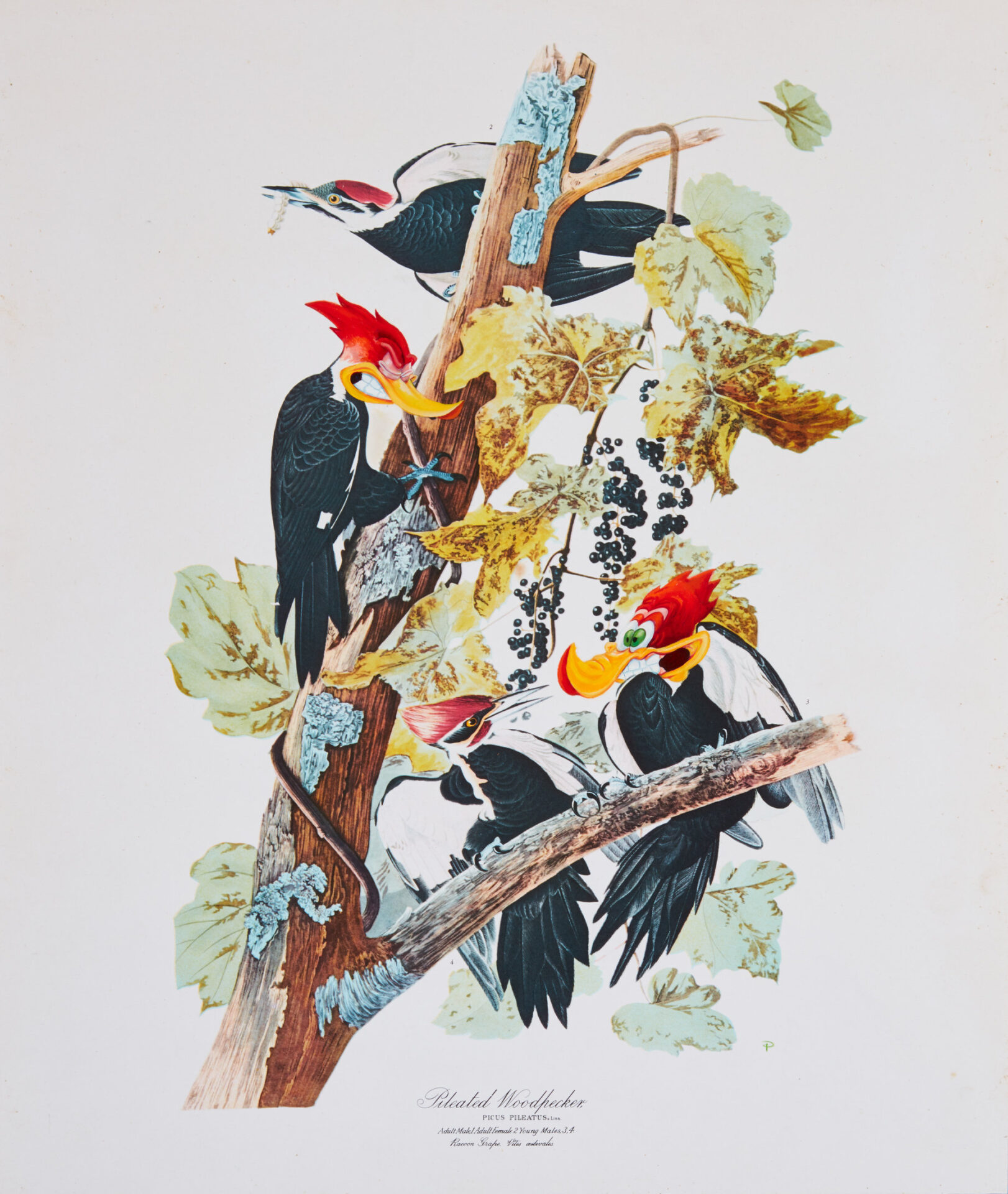Pileated Woodpecker - Picus Pileatus